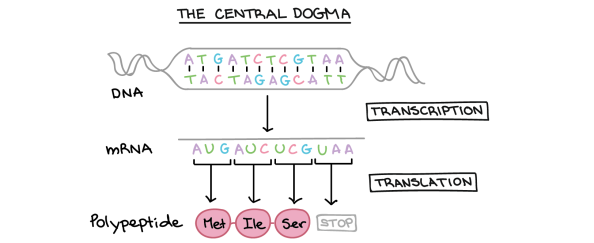 The Central Dogma From Dna To Proteins January 16th 2018